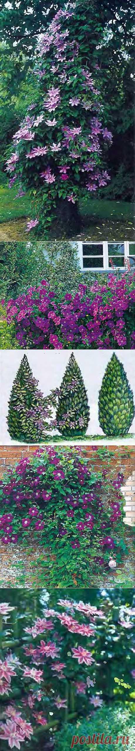 Сорта клематиса для сада   Какие опоры любит этот чудесный цветок   Дачный дизайн