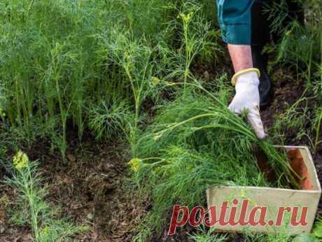 Советы огородникам и садоводам в Instagram: «Секреты выращивания укропа Семена укропа нужно хорошо подготовить, чтобы получить не тоненькие блеклые растения, а красивые, сочно-зеленого…»