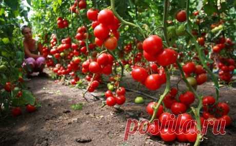 60 томатов с одного куста? Это реально! Два способа для увеличения корневой системы