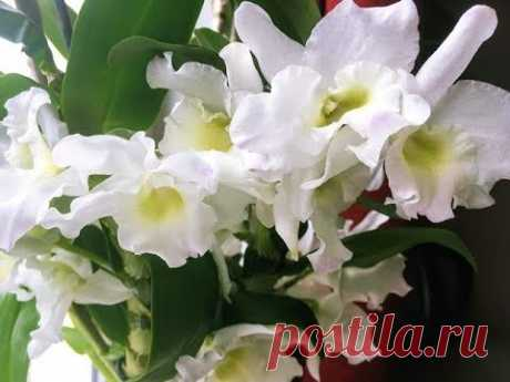 Дендробиум Нобиле. Орхидея для новичков.