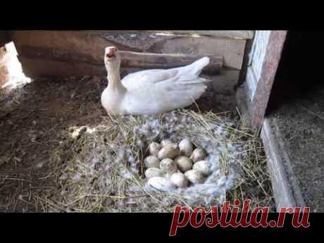 Гуси высиживают яйца часть1