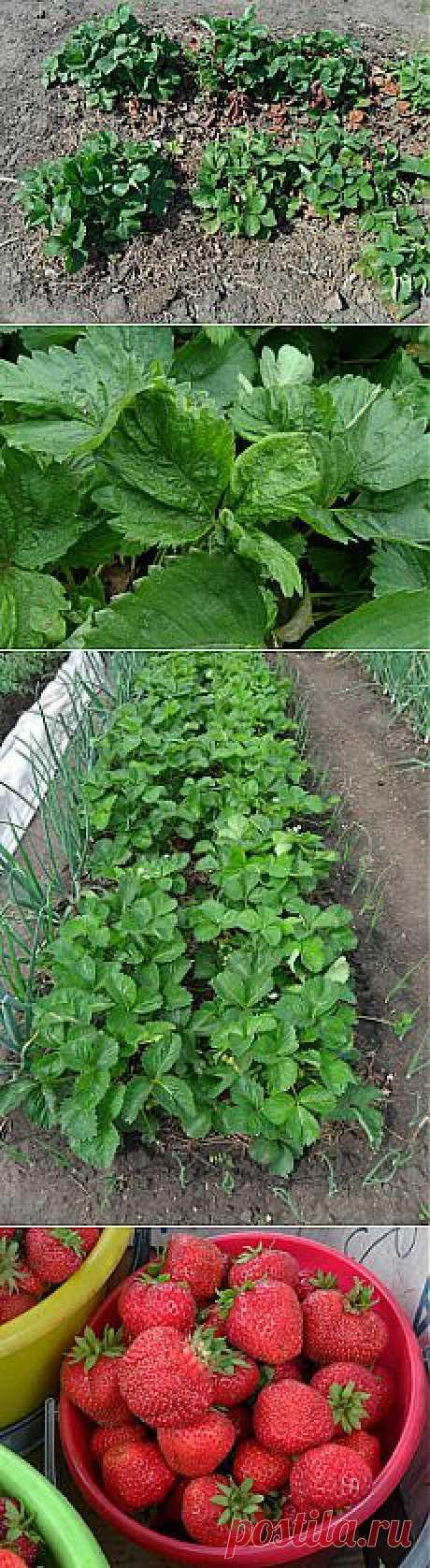 Tasty Kitchen garden: Protection of strawberry. Summer.
