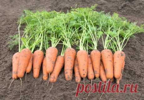 Сорта моркови урожайные, вкусные, устойчивые к болезням и к переменным погодным условиям