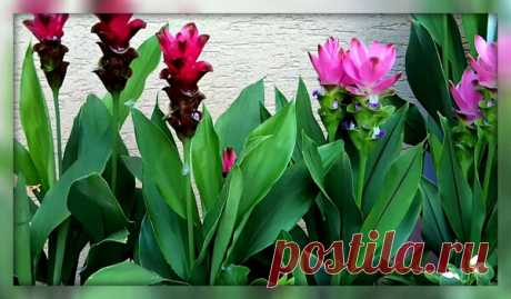 Как вырастить куркуму на подоконнике и получить просто шикарный комнатный цветок | 4 Сезона огородника | Яндекс Дзен