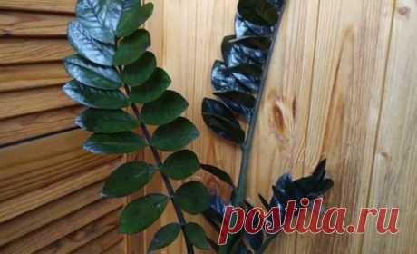 Замиокулькас черный Равен – фото, уход в домашних условиях, описание сорта, отличие от зеленого