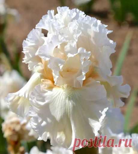 «TB Iris germanica 'Gentle Soul' (Ghio, 2014) . garden Iris» — карточка пользователя Надежда С. в Яндекс.Коллекциях