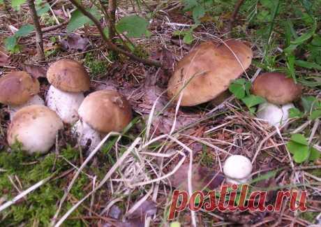 Радость любого грибника найти такую семейку