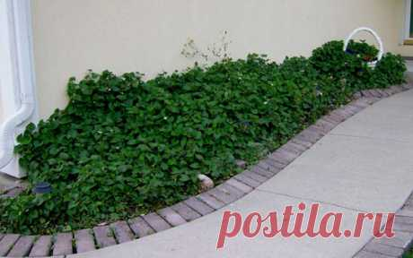 Хауттюйния : правила выращивания, ухода и размножения декоративнолистного почвопокровника