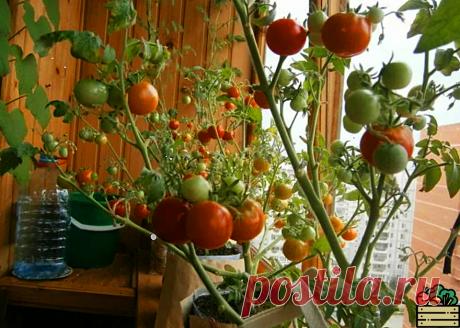 """Рассказываю, как я сажаю помидоры в зиму и получаю зимой хороший урожай томатов прямо дома. Делаю это """"бутылочным способом""""   Удачный урожай   Яндекс Дзен"""