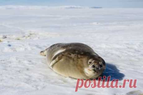 Curious Weddell Seal   A friendly weddell seal on the sea ic…   Flickr