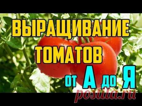 Выращивание томатов в открытом грунте от А до Я / Рассада помидор - YouTube