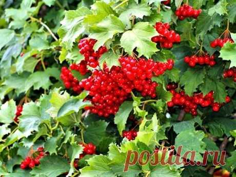 Польза калины: мои самые любимые рецепты применения ягод для здоровья | садоёж | Яндекс Дзен