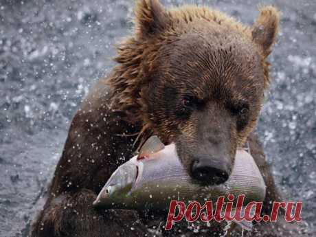 Медведь  питается  рыбой...
