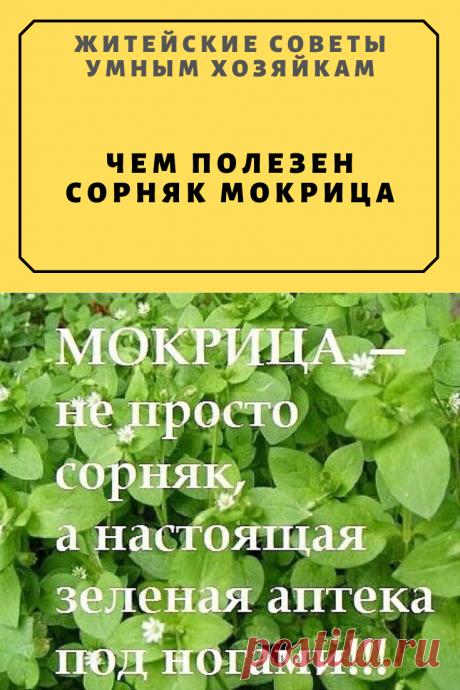 Чем полезен сорняк мокрица | Житейские Советы