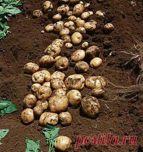 Интересный опыт выращивания картофеля