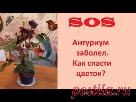 Антуриум. Как спасти цветок, если он заболел?