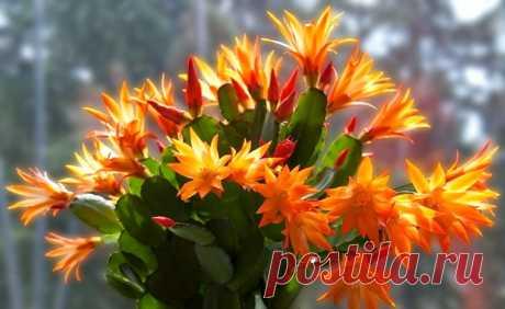 Чем подкормить декабрист в октябре, чтобы он порадовал Вас пышным цветением зимой