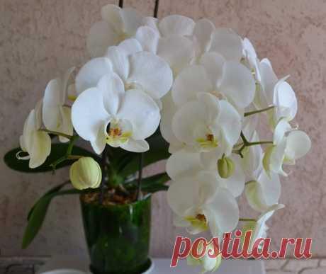 Как правильно ухаживать за орхидеей в домашних условиях   Растения и всё всё всё   Яндекс Дзен