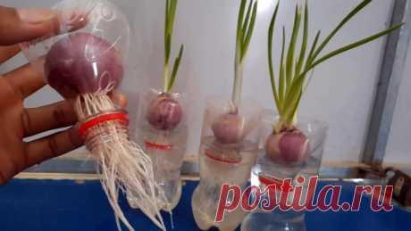 Новый супер способ выращивания лука на перо в бутылках