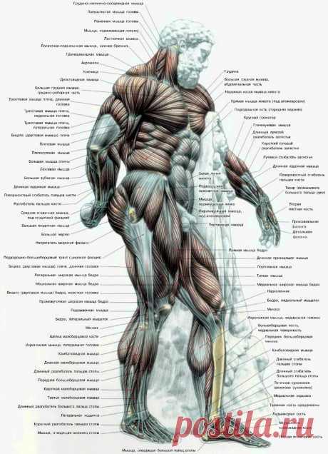 Атлас мышц человека. Вид сбоку