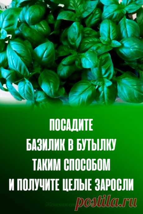 Посадите базилик в бутылку таким способом и получите целые заросли