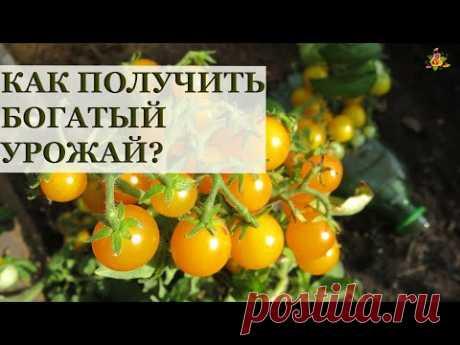 Томаты на подоконнике / Все секреты выращивания!
