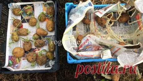 Как лучше проращивать картофель? Проращивание на свету и в темноте. - В феврале 2017 года я начала эксперимент: Как лучше проращивать картофель? Проращивание на свету и в темноте. При каком проращивании урожай будет больше?