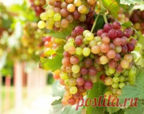 3 секрета богатого урожая винограда