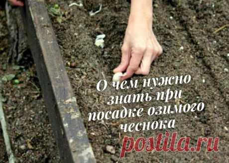 Не сажайте озимый чеснок, пока не узнаете этих хитростей | Садория.ру | Яндекс Дзен