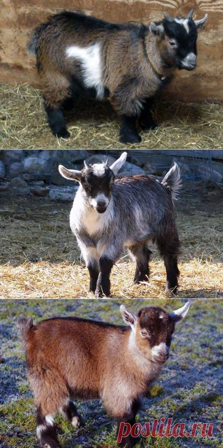 Камерунские карликовые козы – фото, описание, особенности содержания породы