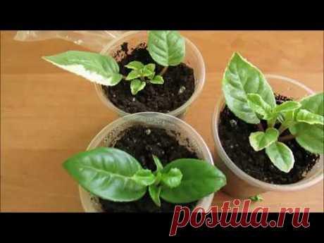 Выращивание и уход за фуксией - новичкам о фуксии