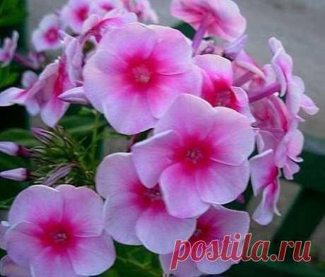 ФЛОКСЫ. СЕКРЕТЫ УСПЕШНОГО ВЫРАЩИВАНИЯ Место посадки выбираем открытое и солнечное, так как флоксам нужно много света, для образования высококачественных плотных соцветий и ярких сочных цветков. Они, конечно, могут хорошо расти и при недостатке света, но соцветия у них будут сильно разреженными, а цветение наступит гораздо позднее. При достаточном освещении флоксы вырастают приземистыми, крепкими, в то время как в тени они сильно вытягиваются. Хотя флоксы могут расти на различных почвах, но вс