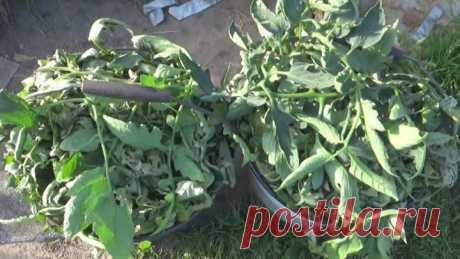 Использование помидорной ботвы на огороде — Садоводка