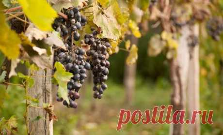 Than to feed up grapes in the fall before cutting and shelter | In a garden (Огород.ru)