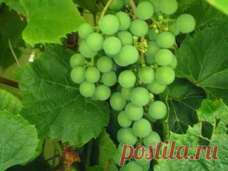 Готовимся к новому сезону: выбираем лучшие сорта неукрывного морозостойкого винограда | Сад, дом, огород | Яндекс Дзен