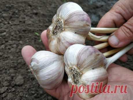 Готовлю грядку для чеснока заранее, чтобы получить хороший урожай крупных и здоровых головок.   Дом цветов   Яндекс Дзен
