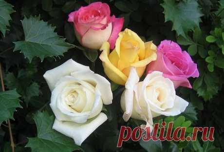 Розы. Галерея фото и стихи