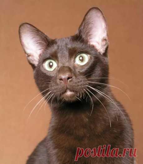 Котята гавана браун в России: где купить, сколько стоит котенок в Яндекс.Коллекциях