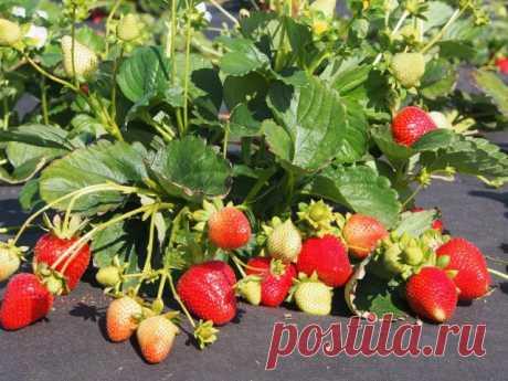 12 ключевых моментов при выращивании садовой земляники | В саду (Огород.ru)