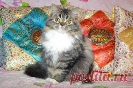 Korloff Noir Felicita Reina  Кошка Korloff Noir Felicita Reina  Кошка  SFL71 (Хайленд - страйт) n2409 (черная мраморная с белым) СВОБОДНА