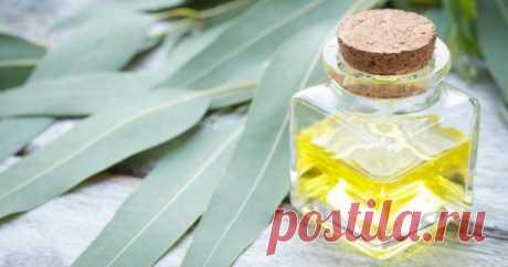 Масло эвкалипта – свойства и применение для красоты и здоровья.