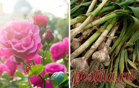 Для большого урожая: 26 растений, которые стоит сажать вместе — 6 соток