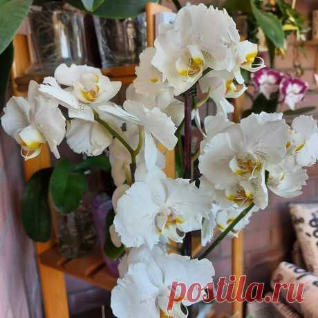 5 простых причин, почему не цветут ваши орхидеи и плохо выглядят