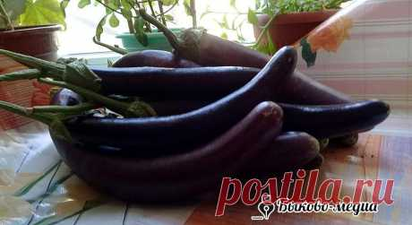 Баклажан: фиолетовая ягода | Быково-медиа