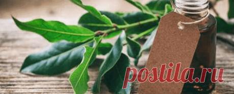 Масло лавра Еще с древних времен человечество использует листья лаврового дерева или лавра благородного в кулинарных и медицинских целях. Сейчас же в сфере здоровья на смену им пришло эфирное масло лавра, которое обладает аналогичными, но при этом более сильными полезными качествами.