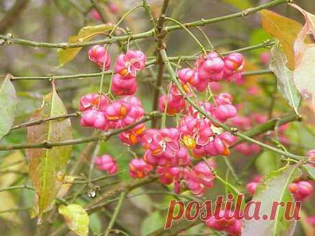 (лат. Euonymus europaeus)- Листопадный кустарник или дерево высотой до 6—5(8) м. Многолетник.Используется как декоративный кустарник в ландшафтном озеленении, декоративен окраской листьев и яркими плодами в осенний период. Имеет пять декоративных форм. Часто высаживается вдоль заборов и изгородей.