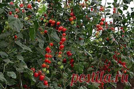 Томат Изюм: описание сорта мелкоплодных помидорок, как выращивать с фото