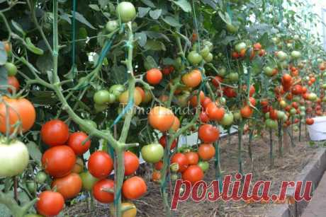 Томат Ля ля фа: описание сорта, отзывы, фото, характеристика | tomatland.ru
