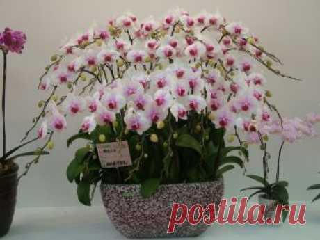 Как размножить орхидею в домашних условиях Размножение орхидей происходит разными способами, например, делением корневища, боковыми побегами или даже так называемыми «детками».Размножение орхидеи в домашних условиях. Деление корневища.Размноже…