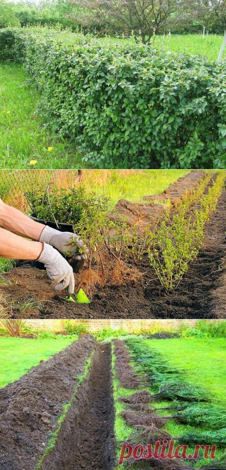 Живая изгородь — зеленый забор от чужих глаз! | В темпі життя